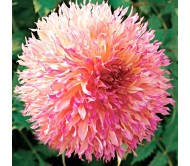 Giant Dahlia Myrtles Folly 1 bulb