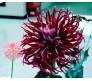 Dahlia Hollyhill Spider 1 bulb