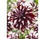 Dahlia Tartan Giant Flower 1 Bulb