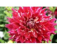 Dahlia Myth Giant Flower - 1 Bulb