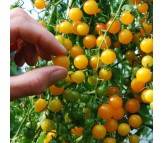 Tomato Yellow Currant Organic - 20 Seeds