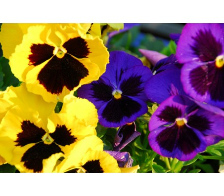 Pansy - Viola gigante mix! 0,10g seed pack