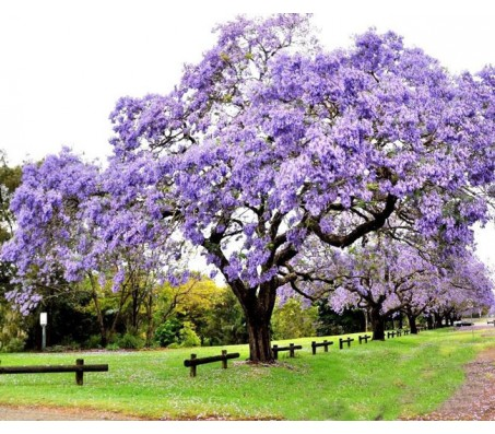 Princess Tree ( Paulownia Tomentosa 30 Seeds) fastest Growing Tree!