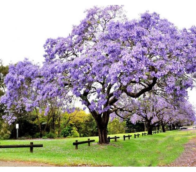 Princess Tree Paulownia Tomentosa 30 Seeds Fastest