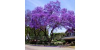 Princess Tree ( Paulownia Elongata 30 Seeds) fastest growing Tree!