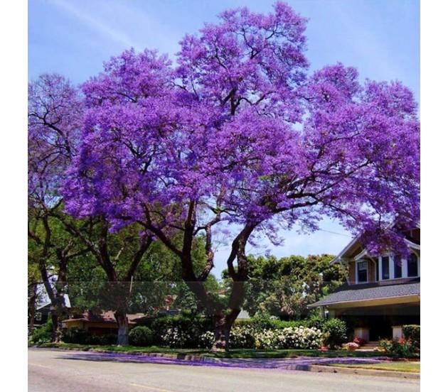 Princess Tree Paulownia Elongata 30 Seeds Fastest Growing