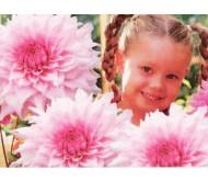 Giant Flower Dahlia Shilo Noelle 1 bulb