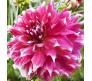 Giant Flower Dahlia Yarra Falls 1 bulb