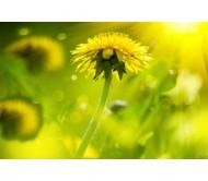 Dandelion / Taraxacum seeds 0,15 gram.