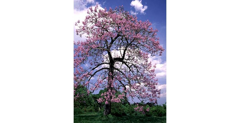 https://flowerseeds.co.nz/image/cache/catalog/princess-tree-paulownia-tomentosa-to-pio-yreyoro-thentro-ston-kosmo-30-sporoi-100-1170x600.jpg