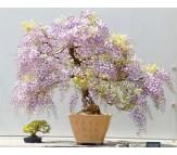 Princess Tree ( Paulownia Tomentosa 30 Seeds) fastest growing Bonsai Tree!