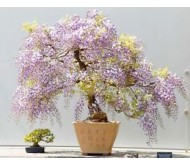 Princess Tree ( Paulownia Tomentosa 30 Seeds) fastest growing Bonsai Tree!