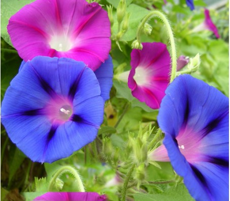 Morning Glory 1gr seeds