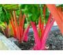 Rainbow Chards - 15 seeds