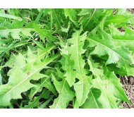 Chicory 5gr Seeds