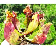 Sarracenia purpurea 15 Seeds