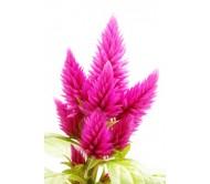 Celosia seeds 0,3 gram.