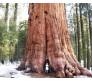 Giant Sequoia Tree (Sequoiadendron giganteum) - 10 Seeds