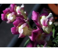 Snapdragon Giant size mixed colors 25 seeds