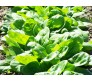 Spinach Giant Leaves seeds 8gr