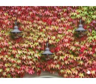 Japanese Creeper Ivy red & green / Parthenocissus tricuspidata 10 seeds
