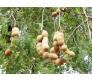 Tamarind (Tamarindus indica) 6 Seeds