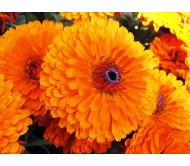 Tall Marigold (Tagetes) 0.40g Mixed Color seeds