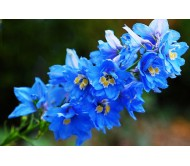 Delphinium seeds packet 0,5 gram.