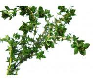 Thyme 0,08gr Seeds
