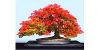 Flame Tree (Delonix Regia) Bonsai 10 Seeds