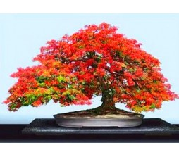 Flame Tree (Delonix Regia) Bonsai 10 Seeds