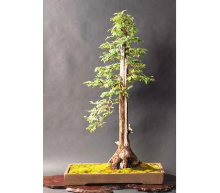 Sequoia Tree (Sequoiadendron giganteum) - 10 Seeds