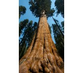 Giant Sequoia Tree (Sequoiadendron giganteum) - 10 Seeds