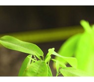 Codariocalyx motorius (Desmodium gyrans) 20 Seeds