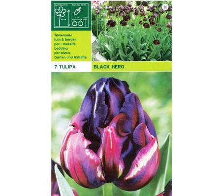 Tulip Black Hero - 5 Bulbs