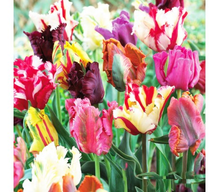 Tulips Parrot Mixed Colors! 10 Bulbs