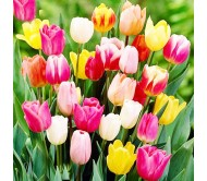 Tulips Mixed Colors! 4 Bulbs