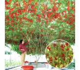 Tomato Giant Tree 15 Seeds