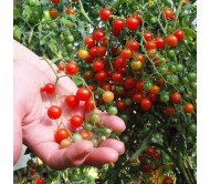 Tomato Currant Sweet pea 30 Seeds