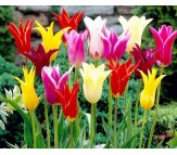 Tulips Lily Mixed Colors! 10 Bulbs