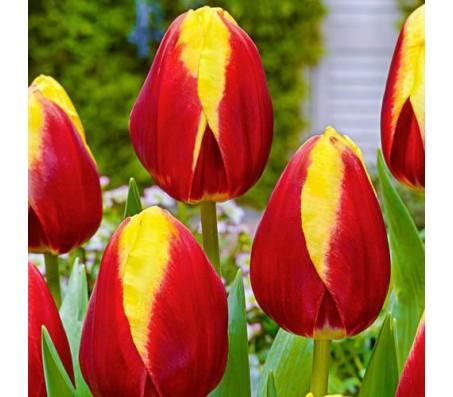 Tulip Dow Jones! 10 Bulbs