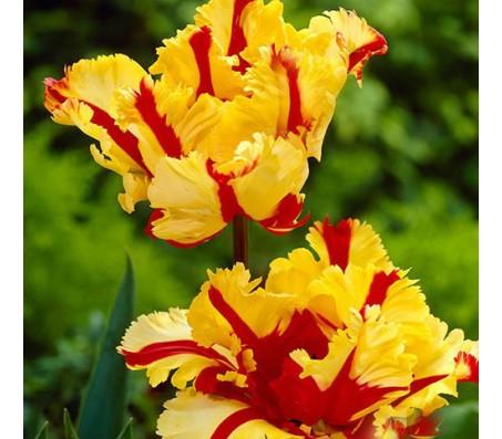 Tulip Flaming Parrot - 10 Bulbs