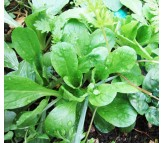 Valeriana seeds 3g