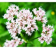 Valerian (Valeriana Officinalis) 40 Seeds