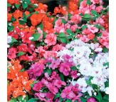 Impatiens seeds packet 0,2 gram.