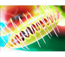 Venus Flytrap carnivorous plant - 10 seeds