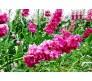 Hoary Stock (Matthiola incana) 0,25g seeds
