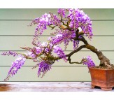Wisteria (wisteria sinensis) 10 Seeds