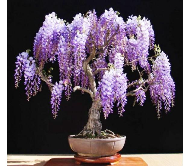 visteria-wisteria-chinensis-black-dragon-10-sporoi-a4072-630x552.jpg (630×552)