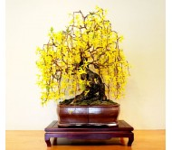 Weeping Forsythia (Forsythia Suspensa) 10 seeds Bonsai